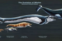 Evolution of Whales by Rushelle Kucala