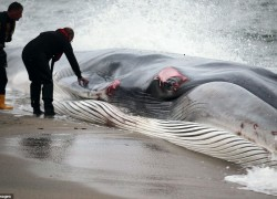 WHALE KILLED BY EXTINCT MARINE REPTILE?