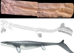 Fossil imprint and interpretation of a Mosasaur, showing the elongated caudal fin.