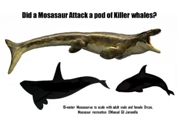 Killer Whale Attacked by Living Mosasaur? (part 2)